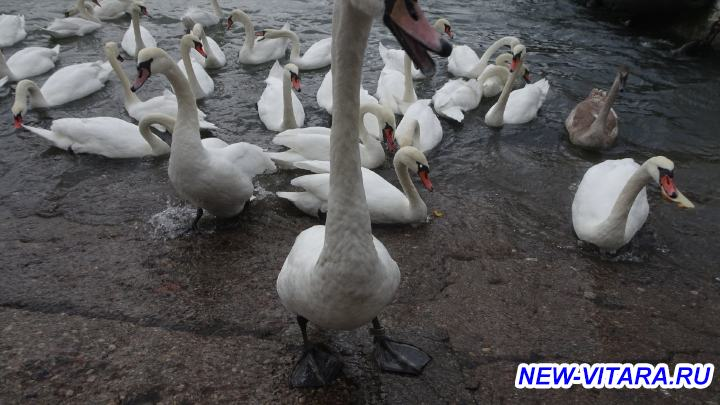 Поездки по Калининградчине - Балтийск лебеди.jpg
