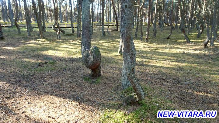 Поездки по Калининградчине - Танцующий лес 2.jpg